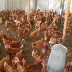 Improved chicken rearing for income generation
